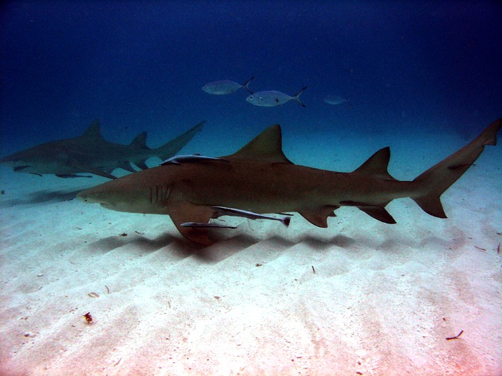 Lemon Sharks (cc) by Gary Rinaldi https://www.flickr.com/photos/54556732@N00/88567604/